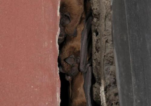netopýr rezavý ve spáře - foto Vlastislav Káňa